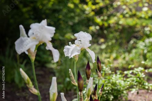 White Iris flower. Selective focus