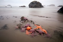 Colorful Star Fish Exposed On The Oregon Coast At Extreme Low Tide