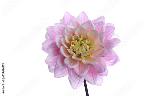 Beautiful purple dahlia flower head isolated on white background