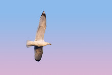 Close Up One Sea Gull Flying Hovering In Blue Sky