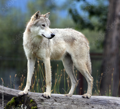 Canvas Prints Wolf wolf standing on log looking back, Alaska, USA