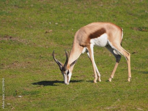 Impala - Antilope