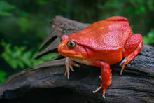 Beautiful Big Frog With Red Skin Like A Tomato, Adult Female Tomato Frog From Madagascar Climb Up Brown Dry Wood In Green Natural Background, Selective Focus