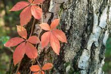 Parthenocissus, Virginia Creep...