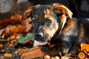 Fototapeta Hundewelpe spielt im Herbstlaub
