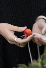 A Rosehip In A Womans Hands