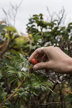 A Woman Picking Rose Hips