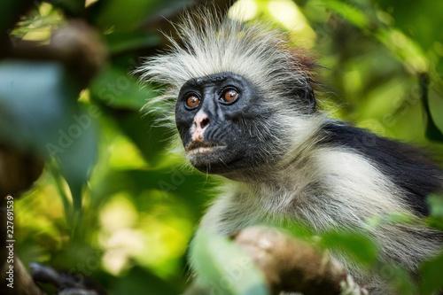 Printed kitchen splashbacks Zanzibar Monkey in tree in Jozani Forest of Zanzibar island, Tanzania