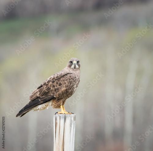 Poster Vogel Hawk