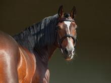 Purebred Horse Portrait In Dar...