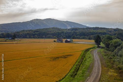 Deurstickers Asia land beautiful landscape of yellow rice paddy field in hokkaido japan