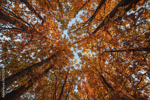Beautiful trees set against the blue sky. Sunset at the autumn forest in Russia. View on the top of the trees. © Владимир Никонов