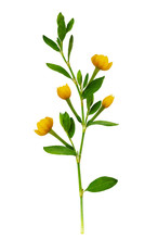 Green Twig With Fresh Leaves And Yellow Flowers