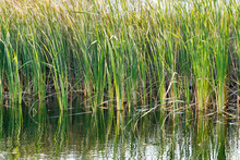 Reeds And Vegetation In The Water, Autumn Wild Nature Background