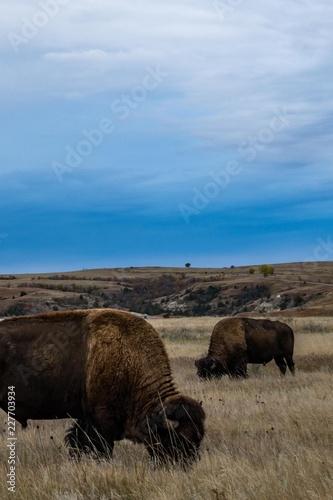 Fotobehang Natuur Park Bison of Theodore Roosevelt National Park