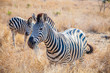 canvas print picture Zebra in Krueger National Park