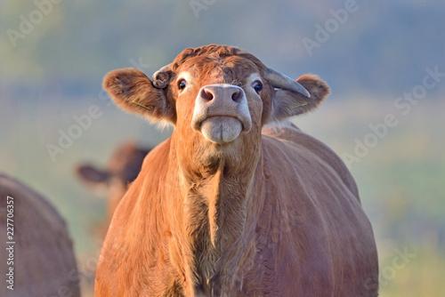 Fototapeta Brown Cow. obraz