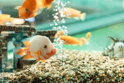 Fotografia Underwater scene with the company from goldfishes in a house aquarium and vials of air on a background