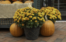 Big Pot Of Yellow Chrysanthemum Flowers Next To Two Orange Pumpkins On Red Brick Surface.