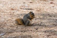 Cute Squirrel Eating A Nut At The Lake Balboa Park, Los Angeles, California