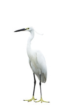Egret Isolated On White Background