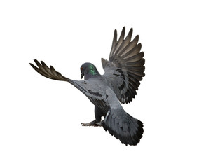 Pigeon flying isolated on white background