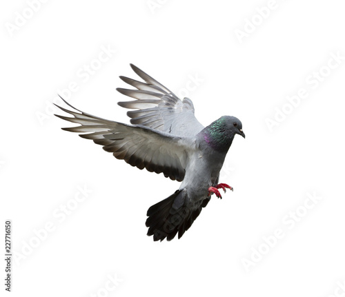 Pigeon flying isolated on white background Fototapete