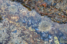 An Anemone In Between The Rocks In The Tide Pools At Low Tide.