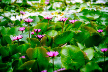 Beautiful Pink Lotus Flowers And Lotus Leaves On The Pond Footage.