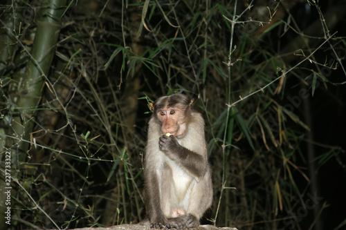 Foto op Plexiglas Aap monkey (macaque) isolation on a black background