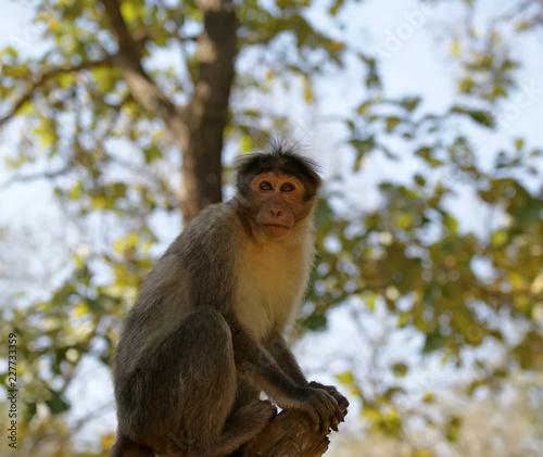 Foto op Plexiglas Aap monkey (macaque) in a natural environment, South India, Kerala
