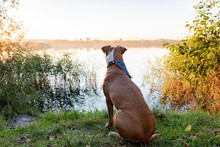 Dog Sits Near Lake. Beautiful Sunset At Riverbank With A Dog Looking At Distance