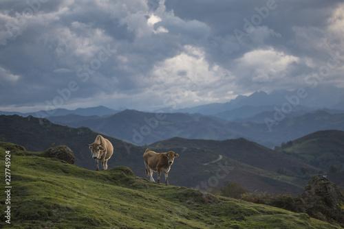 Fotografie, Obraz  Cow in mountains