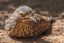 Spotted Thick-knee Portrait (Burhinus Capensis) Sitting On Sand With Sunlight