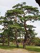 函館 五稜郭公園 赤松