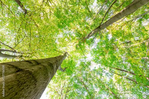 Photo  Zwei große Buchen - gigantische Baumkronen