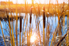 Autumn Landscape With  Cattail...