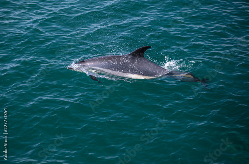 Atlantic Dolphin