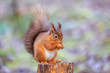 Red squirrel in idyllic woodland background