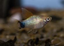 Platy (Xiphophorus Maculatus) ...