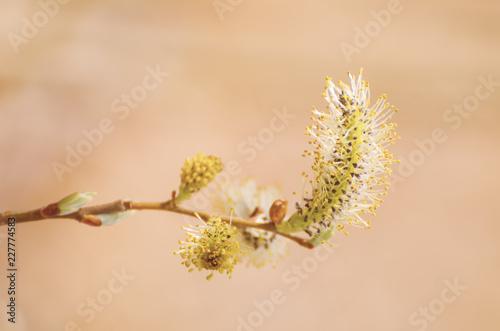 Cuadros en Lienzo Blooming willow branch in springtime, seasonal sunny easter background