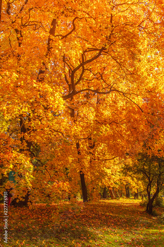 Foto op Canvas Herfst Autumn landscape Background. Autumn maple trees with Yellow and Red falling leaves in sunlight rays
