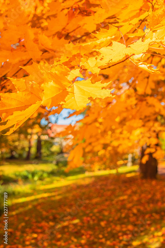 Foto op Plexiglas Herfst Autumn landscape. Autumn trees with Yellow and Orange leaves in park. Beautiful nature scene.