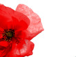 Leinwandbild Motiv Red poppy flower isolated on white background. Ideal background for invitations, web, business cards and advertisements.  Remembrance day concept.