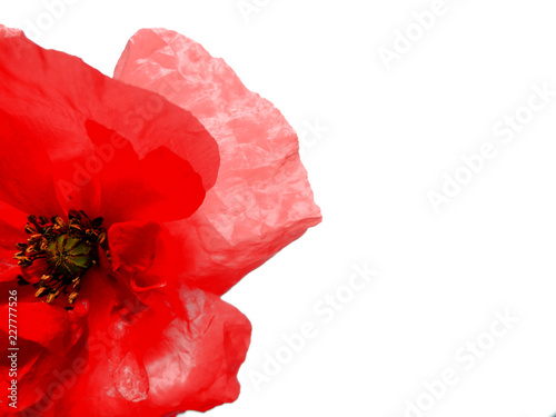 Red poppy flower isolated on white background. Ideal background for invitations, web, business cards and advertisements.  Remembrance day concept. - 227777526