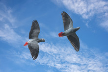 African Grey Parrot Flying On Blue Sky