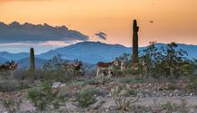 Arizona Wild Donkey's In The Desert At Sunset