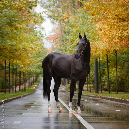 Black horse stands in nature on autumn background