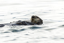 Sea Otter (Enhydra Lutris) Swimming In The Water. Russia, Kamchatka, Nearby Cape Kekurny, Russian Bay