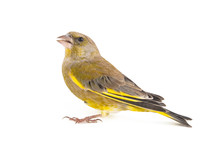 Greenfinch Isolated On A White...